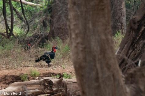 Ground Hornbill, Punda Maria