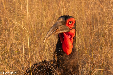 Ground Hornbill, Chobe Game Reserve