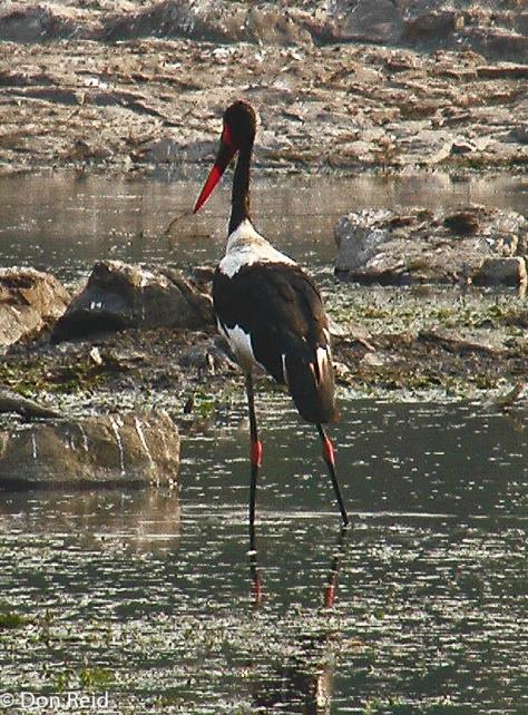 Saddle-billed Stork, KNP