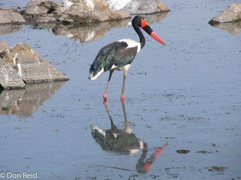 Saddle-billed Stork, KNP