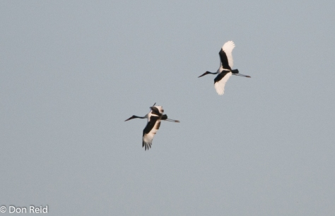 Saddle-billed Stork-3