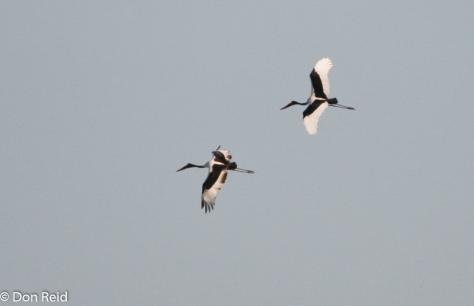 Saddle-billed Stork-3
