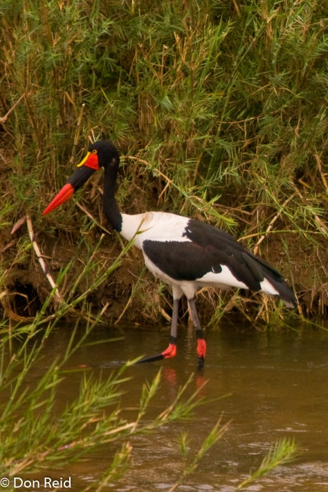 Saddle-billed Stork, Letaba KNP
