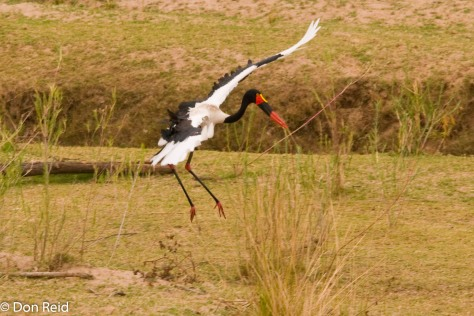 Saddle-billed Stork, Letaba KNP