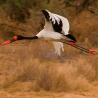 Bird in the Lens - Saddle-billed Stork
