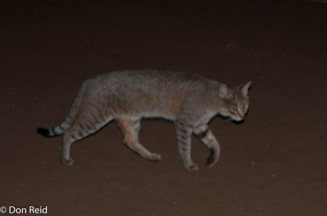 African Wild Cat doing the rounds of the chalets