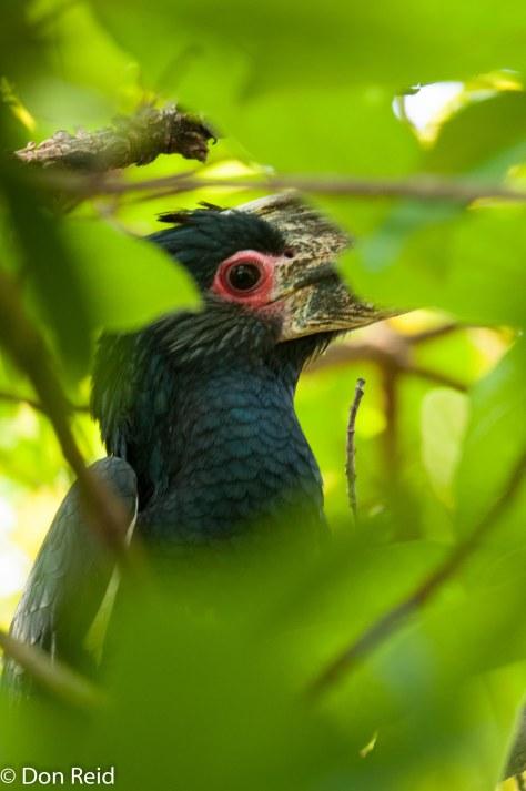 Trumpeter Hornbill, Victoria Falls