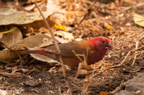 Red-billed Firefinch (Male), Victoria Falls
