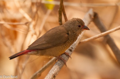 Red-billed Firefinch (Female), Victoria Falls