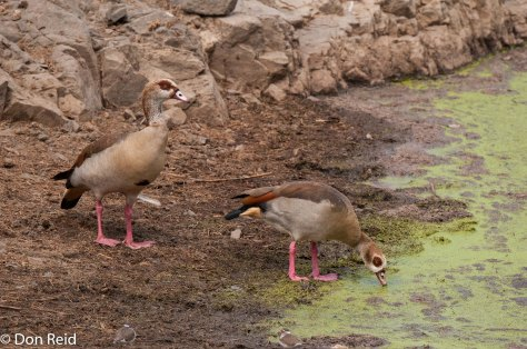 Egyptian Goose, Sweni Hide