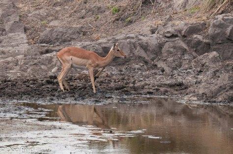 Wary Impala, Sweni Hide