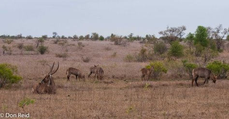 Waterbuck, Satara - Nwanetsi S100