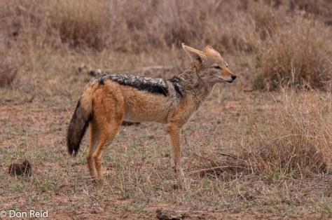 Black-backed Jackal, Satara - Nwanetsi S100