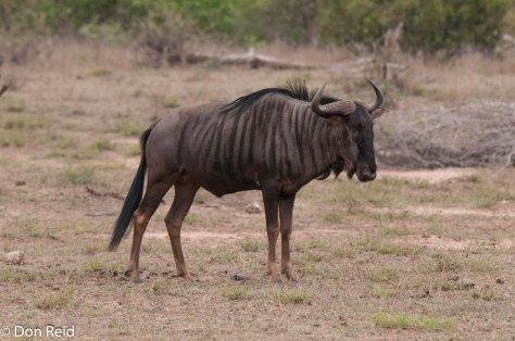 Blue Wildebeest, Satara - Nwanetsi S100