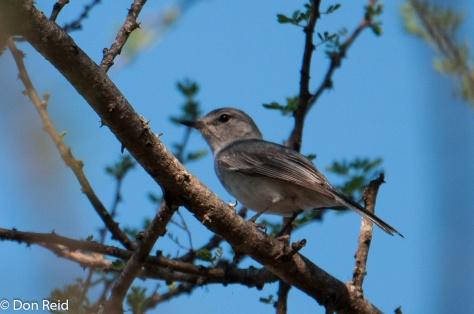 Grey-Tit Flycatcher