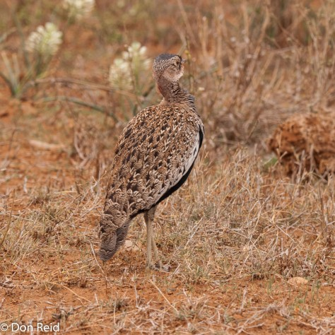 Red-crested Korhaan - viewed from the back - now he is well camouflaged
