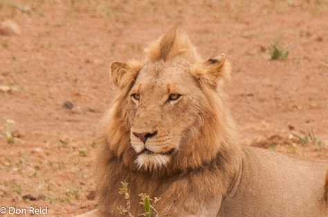Lion, Girivana, Timbavati Road S40