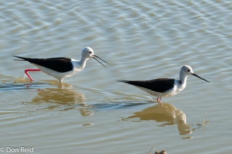 Black-winged Stilt, Voëlvlei near Gouritzmond