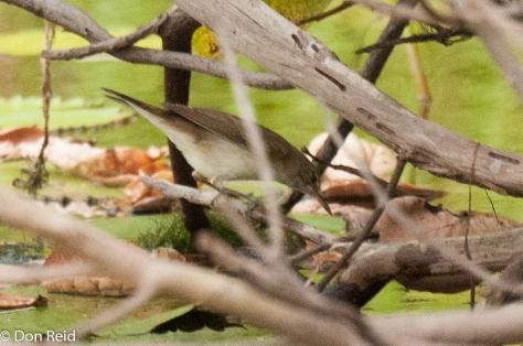 Basra Reed Warbler, Rio Maria Beira