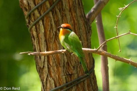 Bohm's Bee-Eater, Rademan's Farm on Zambezi River