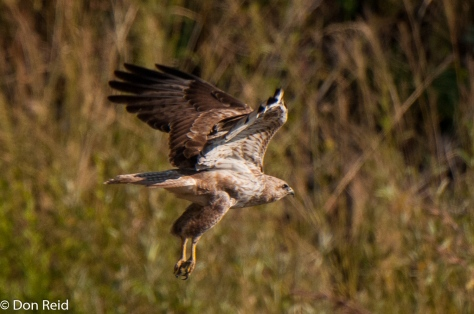 Common (Steppe) Buzzard (Pale), Baviaanspoort
