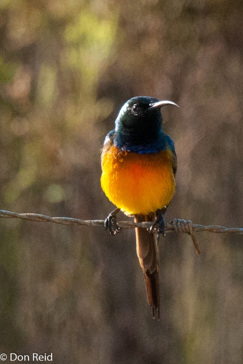 Orange-breasted Sunbird, near Albertinia