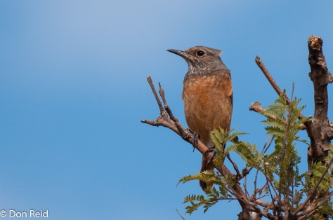 Short-toed Rock-Thrush, Kwamhlanga