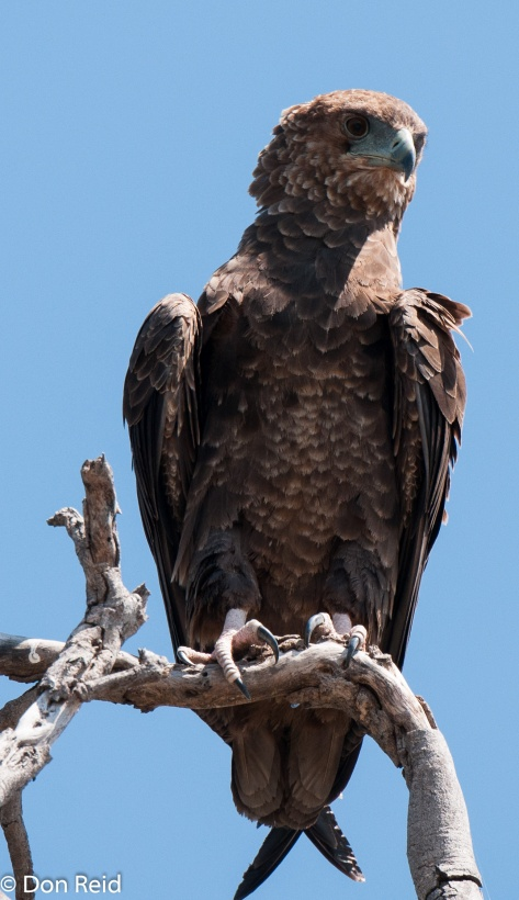 Bateleur (Juvenile), Chobe Game Reserve