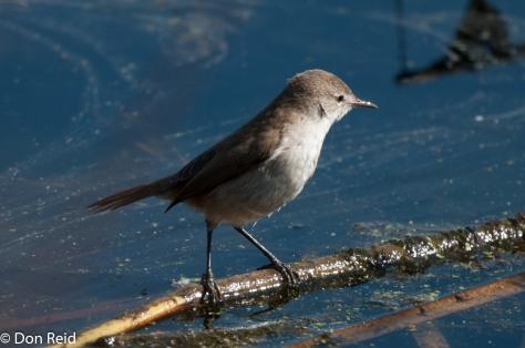 Lesser Swamp Warbler, Marievale
