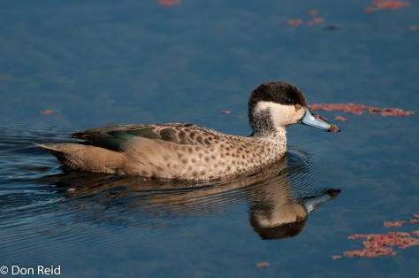 Hottentot Teal, Marievale