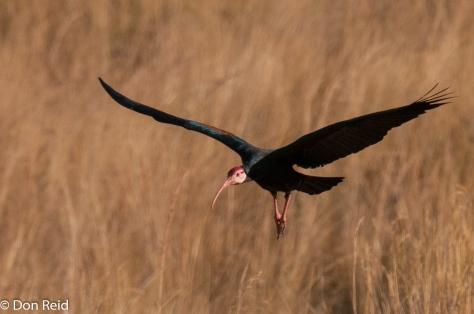 Bald Ibis, Verlorenkloof