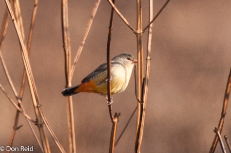 Orange-breastsed Waxbill, Balmoral area