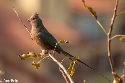 Red-faced Mousebird, Mossel Bay