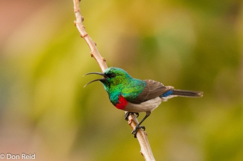 Southern Double-collared Sunbird, Mossel Bay
