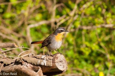 Cape Robin-Chat, Mossel Bay-Herbertsdale