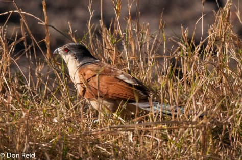 Senegal Coucal, Chobe Game Reserve