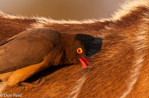 Red-billed Oxpecker, Chobe Game Reserve