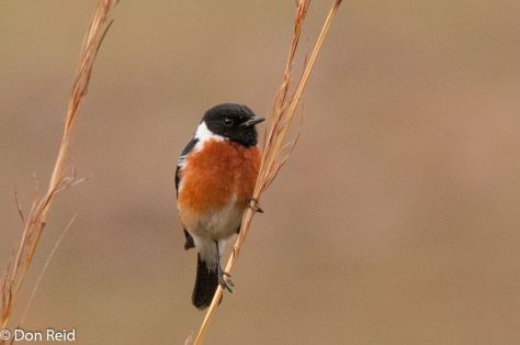 African Stonechat (male), Verlorenkloof