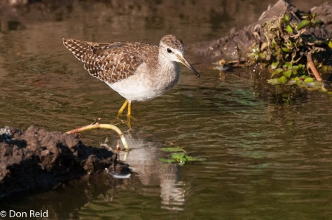 Wood Sandpiper, Kasane Treatment Works