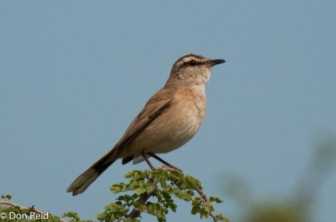 Kalahari Scrub-Robin, Mkhombo area