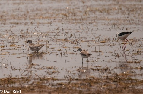 Grey Plover, Marsh Sandpiper, Black-winged Stilt, Mkhombo area