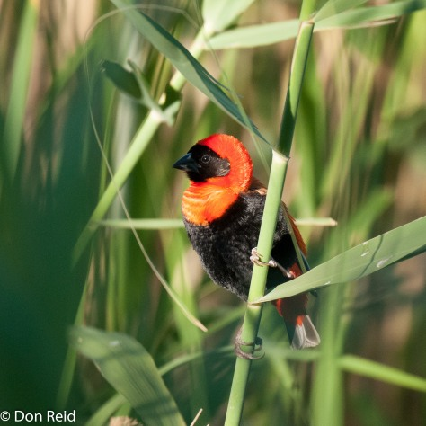 Southern Red Bishop, Karoo National Park
