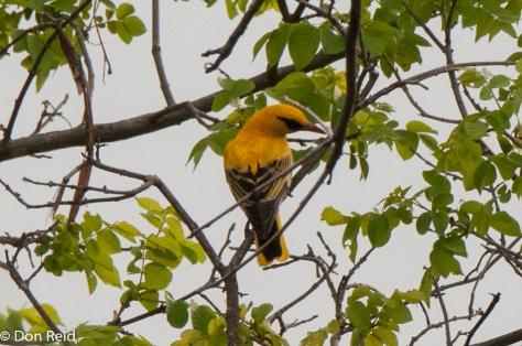 African Golden Oriole, Seboba Nature Park Kasane