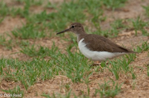 Common Sandpiper, Chobe Riverfront