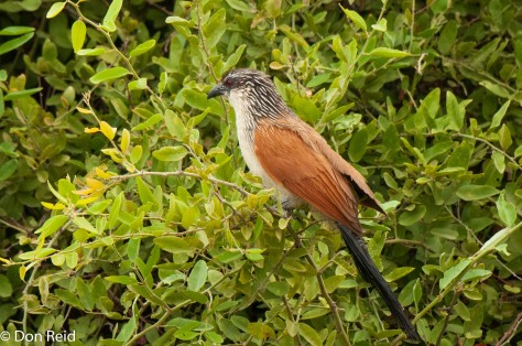 White-browed Coucal, Chobe Riverfront