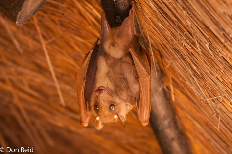 Fruit Bat, Satara