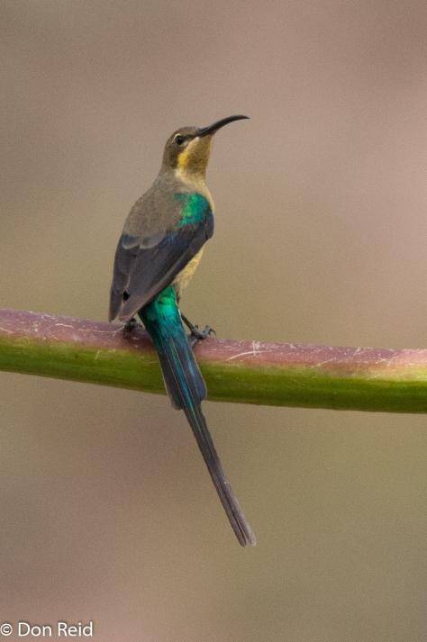 Malachite Sunbird, Valsriviermond