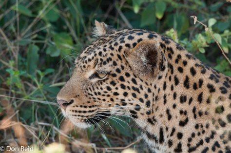 Leopard, Chobe Game Reserve
