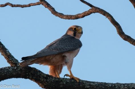 Lanner Falcon, Verlorenkloof