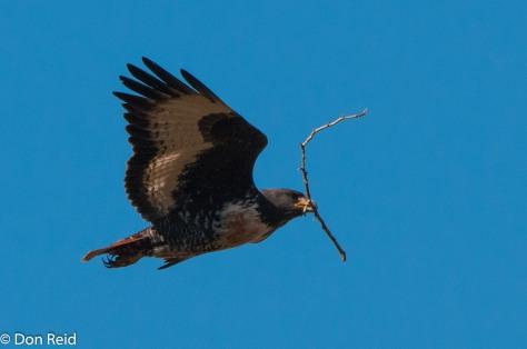 Jackal Buzzard with nest material, Mossel Bay-Herbertsdale